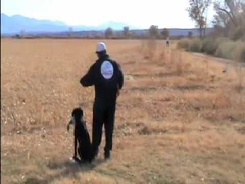 Hunting Labrador Retriever - Field Marking Drill