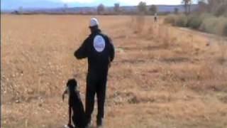 Hunting Labrador Retriever - Field Marking Drill
