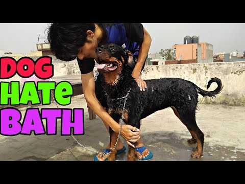 How to Bath your Dog: Dog Grooming. #Rottweiler #GermanShepherd #pitbull #labrador and Other Dog's