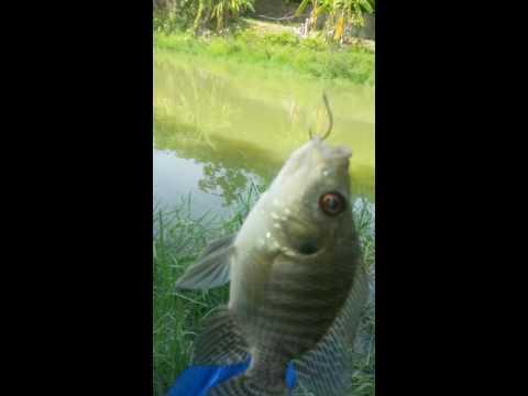 สูตรเหยื่อปลานิลที่ดีที่สุดใช้เวลาแค่ไม่กี่วินาทีก็ได้ปลา