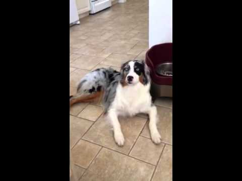 Australian Shepherd puppy talking to me