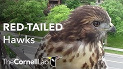 Cornell Red-tailed Hawks Live Cam #CornellHawks