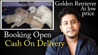 low price Golden retriever puppies for sale || heavy bone || october series - shanu pets and farm