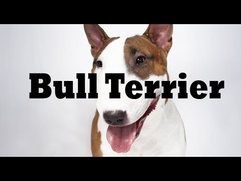 Raza de la Semana: Bull Terrier