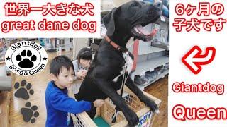 世界一大きな犬 グレートデーンと買い物❤ GreatDanedog BOSS&Queen Giantdog ニューファンドランド Newfoundlanddog 渡辺ボス 買い物 息子 娘 魚