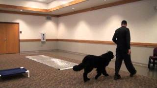 Jax (Newfoundland) Boot Camp Dog Training