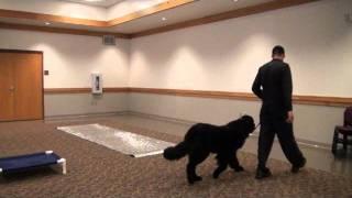 Jax (newfoundland) Boot Camp Dog Training
