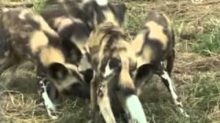 Αφρικανικοί Άγριοι Σκύλοι επιστρέφουν στην φύση
