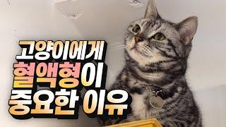 [ENG SUB] 고양이의 골든타임을 잡는 혈액형 검사…