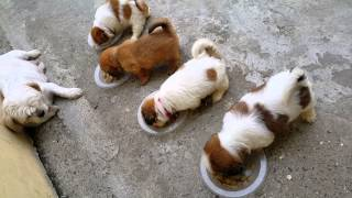 6 weeks old shih tzu puppies eating puppy food