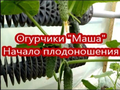 """Огурчики """"Маша"""". Начало плодоношения"""