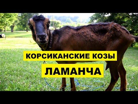 Разведение Корсиканских коз Ламанча как бизнес   Козоводство   Порода коз Ламанча