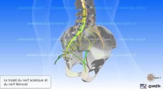 Moelle épinière et nerfs rachidiens simplifiés. Nerf sciatique et nerf fémoral.