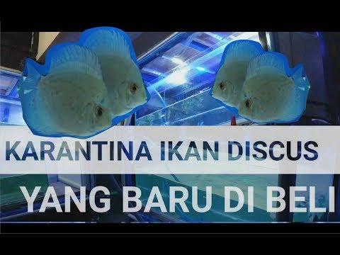 karantina-ikan-discus-yang-baru-di-beli