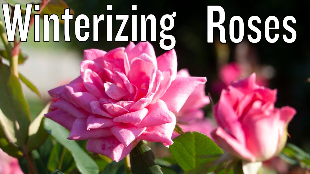 Winter Care For Knock Out And Drift Roses Youtube