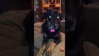 Willpower Dog