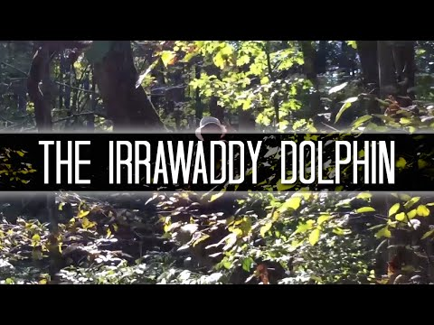 The Irrawaddy Dolphin