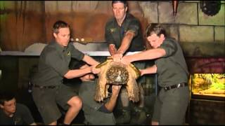 Alligator Snapping Turtle thumbnail