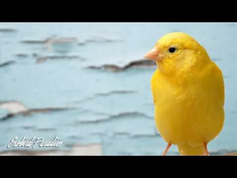 Female Canary Bird Sound for Therapy
