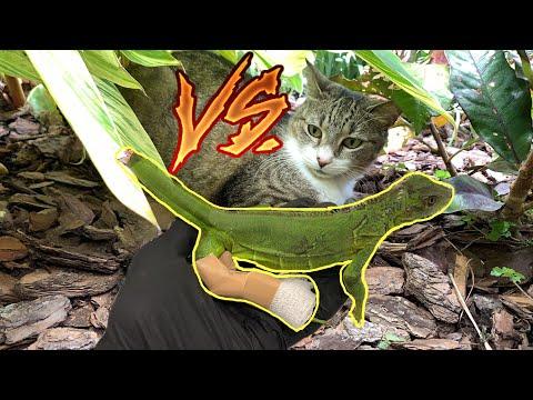 My NEIGHBORS CAT ATTACKED AN IGUANA !
