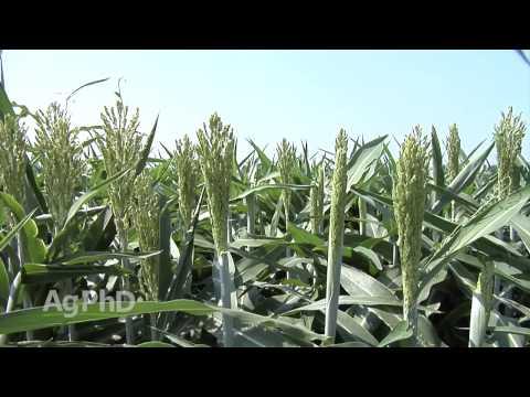 Weed Control in Sorghum #896 (Air Date 6/7/15)