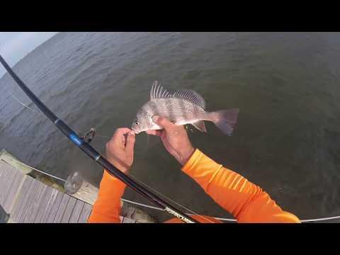 Indian River Lagoon Dock Fishing Black Drum