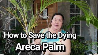 How To Save The Dying Areca Palm, By Lola Malyn Ang Tinderang Hardinera