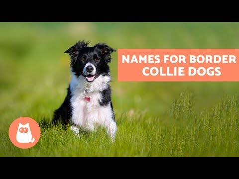 The Best Border Collie Names