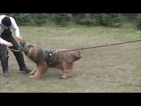 Schutzdienst-IPO-(SCHH)-Protection - Briard training with happy smile