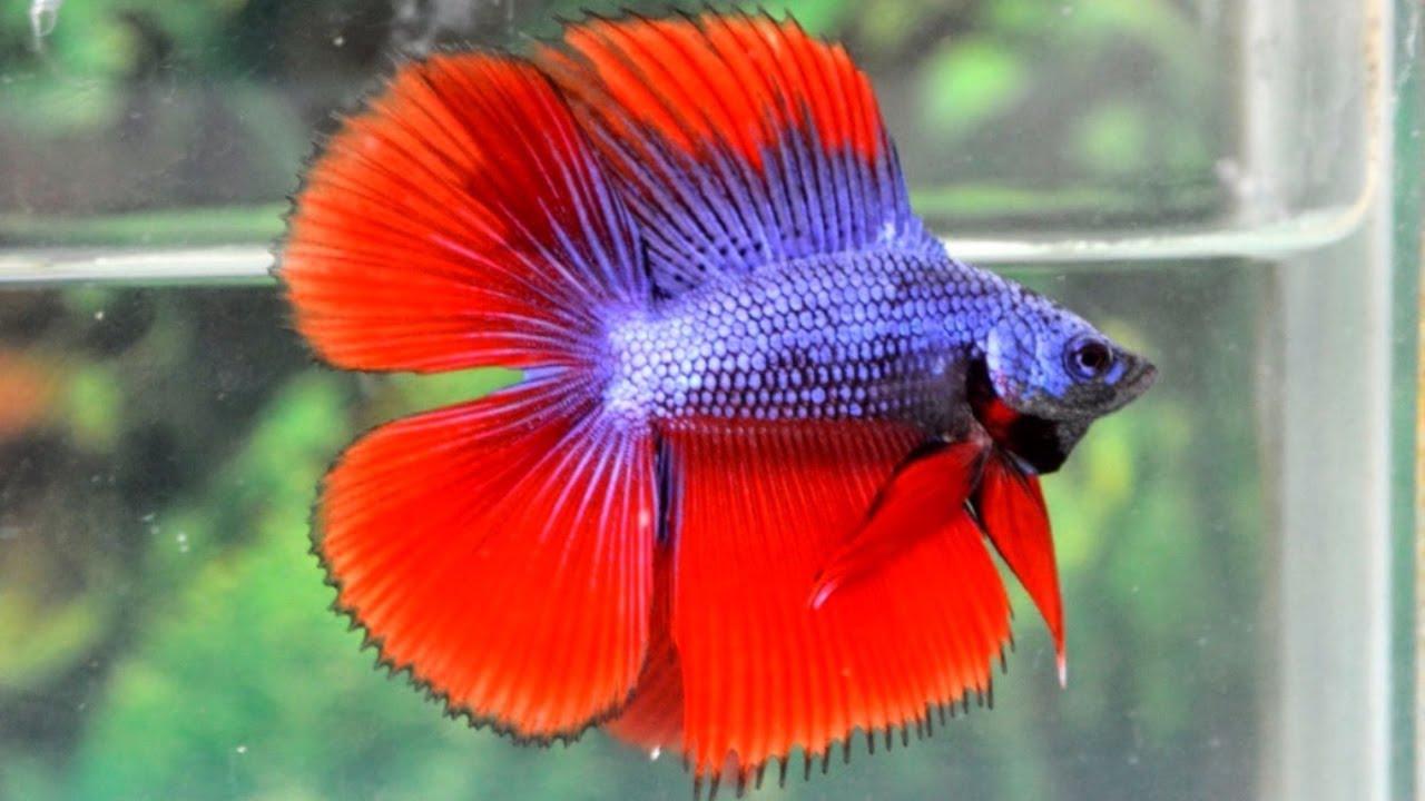 Koleksi Ikan Cupang Halfmoon Double Tail Banyak Warna - YouTube