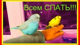 Как положить попугая спать🐥Волнистый попугайчик #Птицы