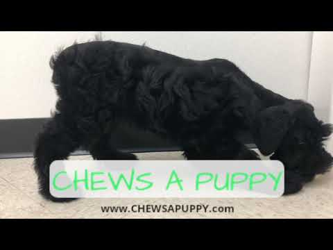 Giant Schnoodle Puppy For Sale | Chews A Puppy