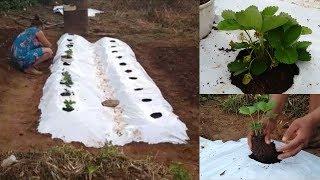 Método de como Plantar Morando