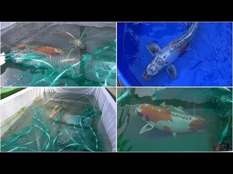 My Koi Breeding Project - Part 2 - The First Night.....