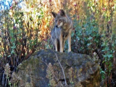 The Coyote of Telegraph Hill