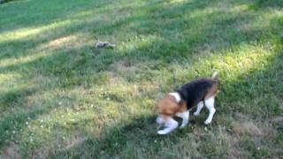 Rescue Dog - Beagle Mom, 1-2yrs Old, Tessa Is Available!