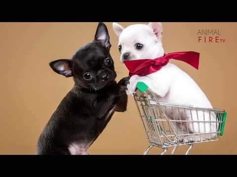Top 10 facts about Chihuahuas (Chihuahua Dog breed Information)