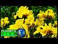 MARAVILLAS DE LA NATURALEZA. Árbol de Cañaguate florecido - Maravillas naturales - Wonderful nature