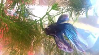 Рыбка петушок Betta splendens Красивая аквариумная рыбка Синий петушок Кормление
