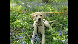Cooper the Labrador Puppy - 2 Weeks Residential Dog Training