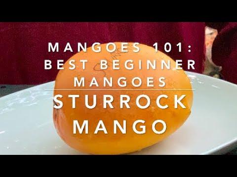 Mangoes 101: Best Beginner Mangoes: STURROCK MANGO