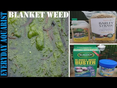 Blanket Weed Pond Algae How To Control And Kill