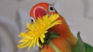 Parrots LIKE Dandelion    PetsVideo