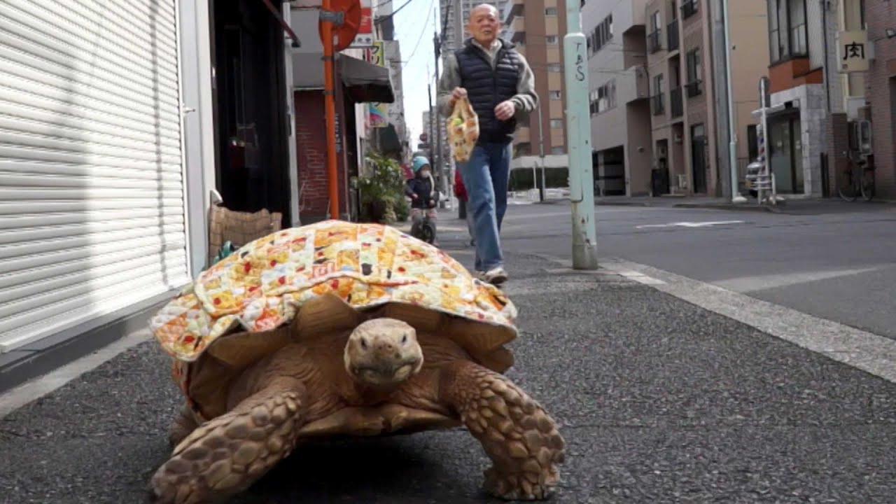 Adorable Year Old Pet Tortoise YouTube - Man walks pet tortoise through tokyo