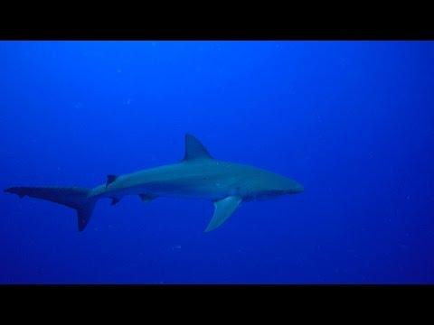 FFS Decompression Galapagos shark close
