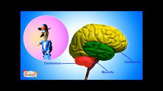 Cerebellum - Functions Video for kids by makemegenius.com