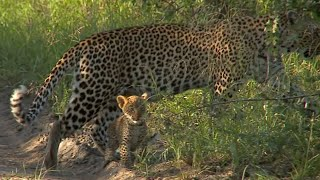 Leopard Karula and her new cubs