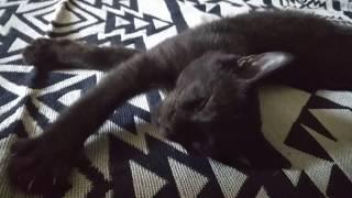 飼い主に寝込みを襲われる 【子ネコ・兄弟ネコ・保護ネコ】 thumbnail