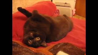 Игрушка Британская шоколадная кошка Be The Winner British House