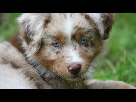 Puppy's First Week at Home - part 1/2 | Pekka the Australian Shepherd